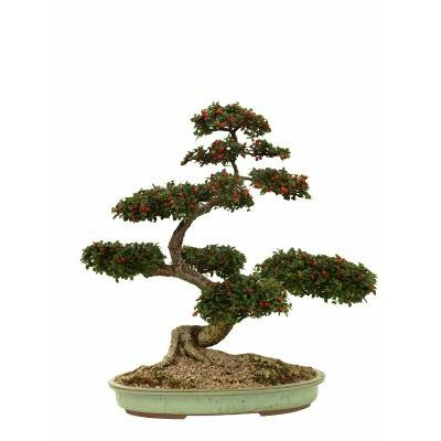 Littlewoods Bonsai